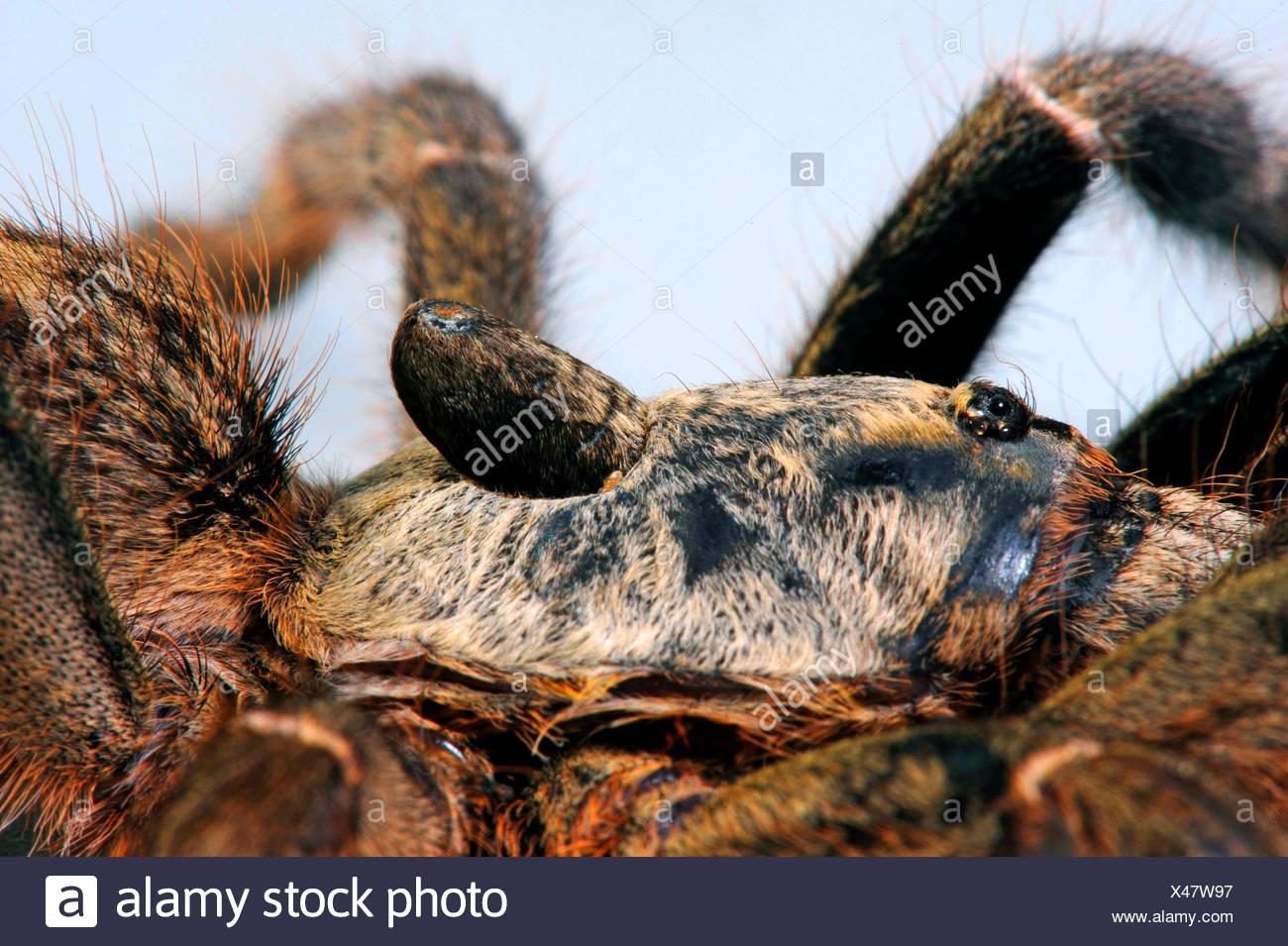 Cornuto babbuino spider, African retro-cornuto babbuino, Burst babbuino cornuta, dritto Corno Tarantula (Ceratogyrus darlingi, Ceratogyrus bechuanicus, Ceratogyrus schultzei), dettaglio della tromba del clacson Immagini Stock
