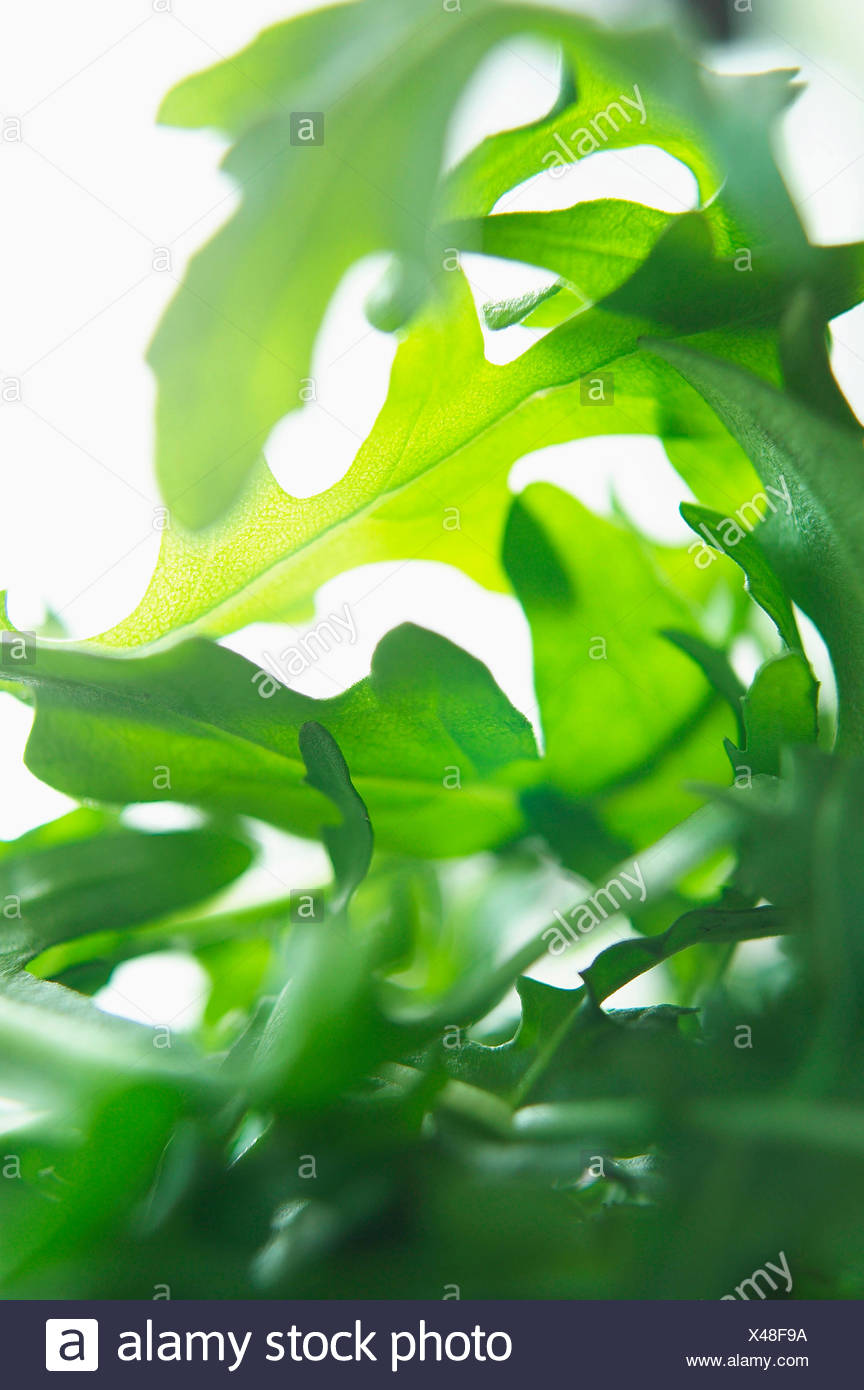 La rucola, Eruca sativa, Studio shot di insalata verde foglie. Immagini Stock