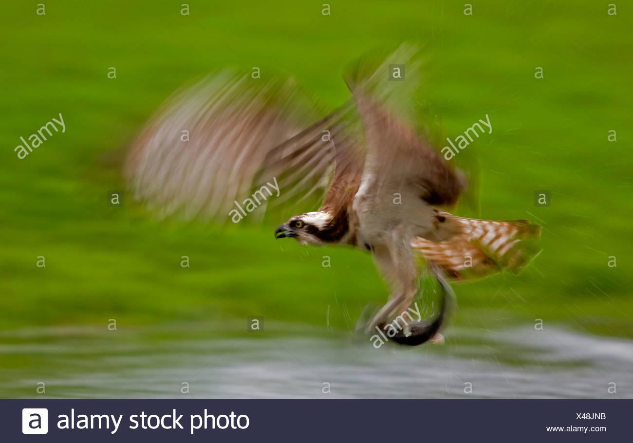 Osprey per la pesca del salmone trota, Finlandia (Pandion haliaetus) Immagini Stock
