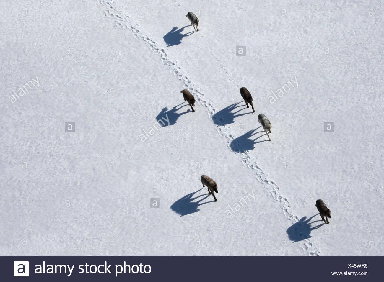 Un pacco di lupi grigi in movimento nel Wyoming è il Parco Nazionale di Yellowstone. Immagini Stock