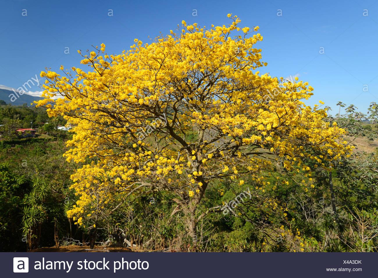 America centrale, Costa Rica, San Jose, Schizolobium tree, fiore, bloom, giallo, natura, San Jose, Immagini Stock