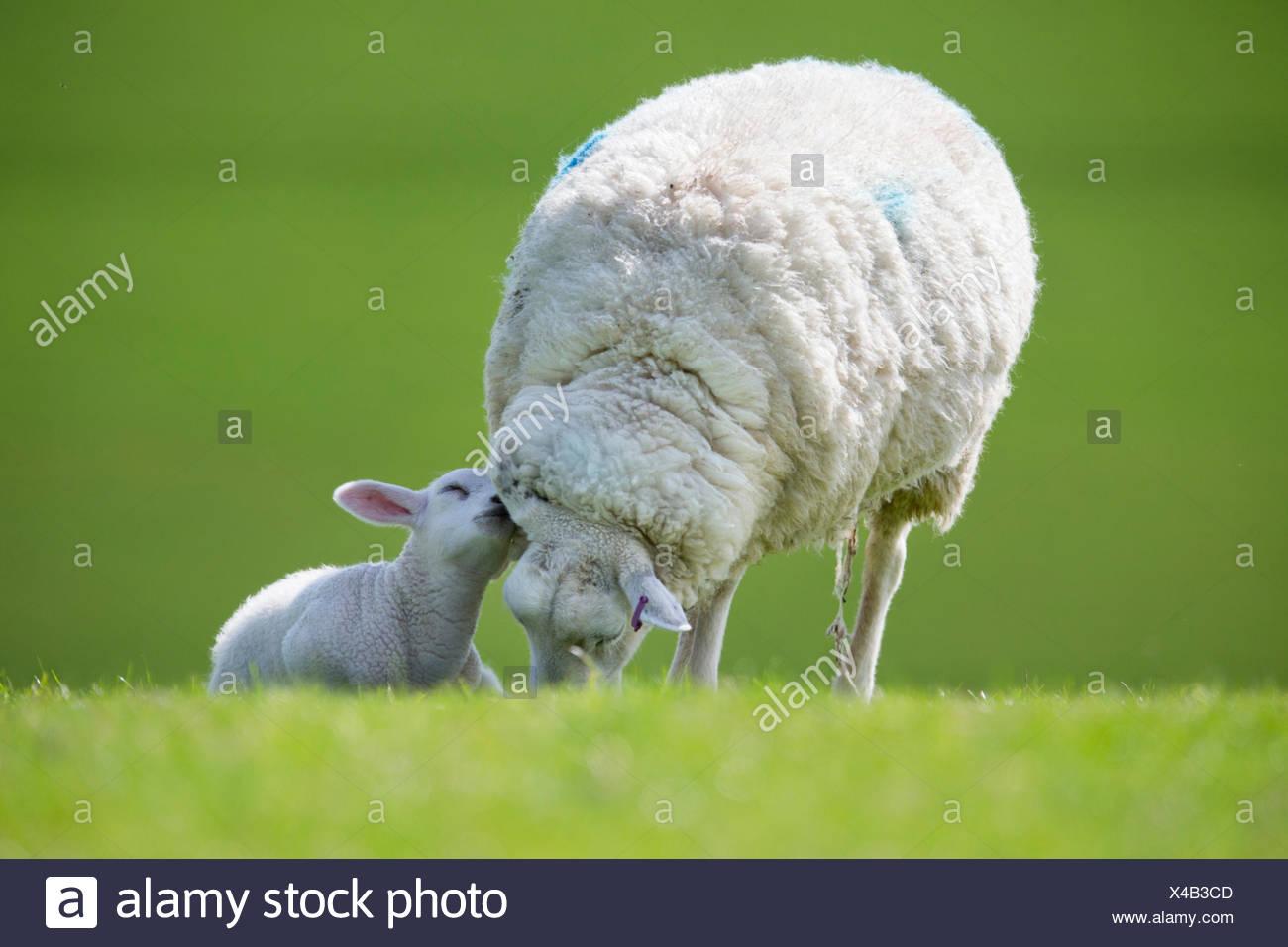Affettuosa di agnello e di pecore al pascolo in verde campo primaverile Immagini Stock