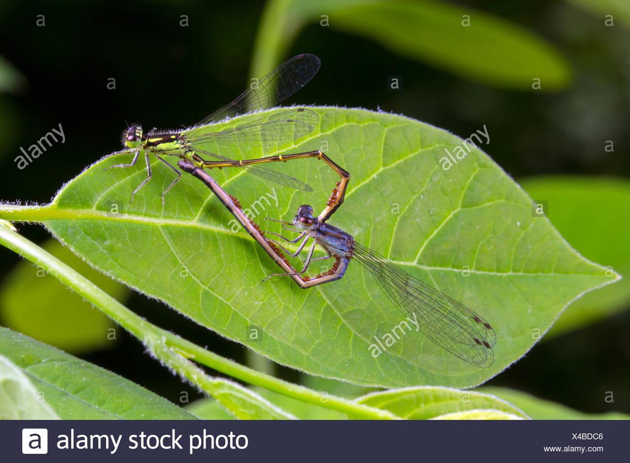 Una coniugata coppia di fragile forktail damselflies, Ishnura posita, con acqua di parassiti acari su di essi. Immagini Stock