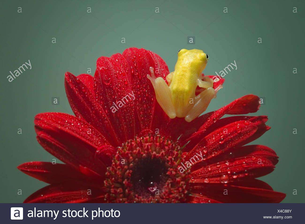 Vista posteriore di una rana in miniatura seduto su un fiore di gerbera Immagini Stock