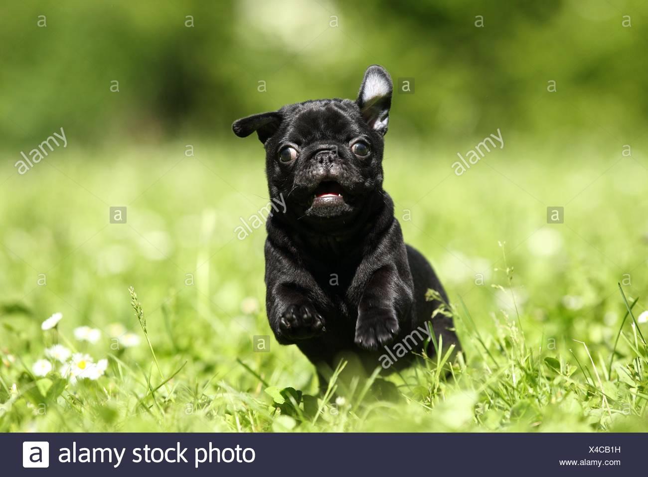 cucciolo di Carlino Immagini Stock
