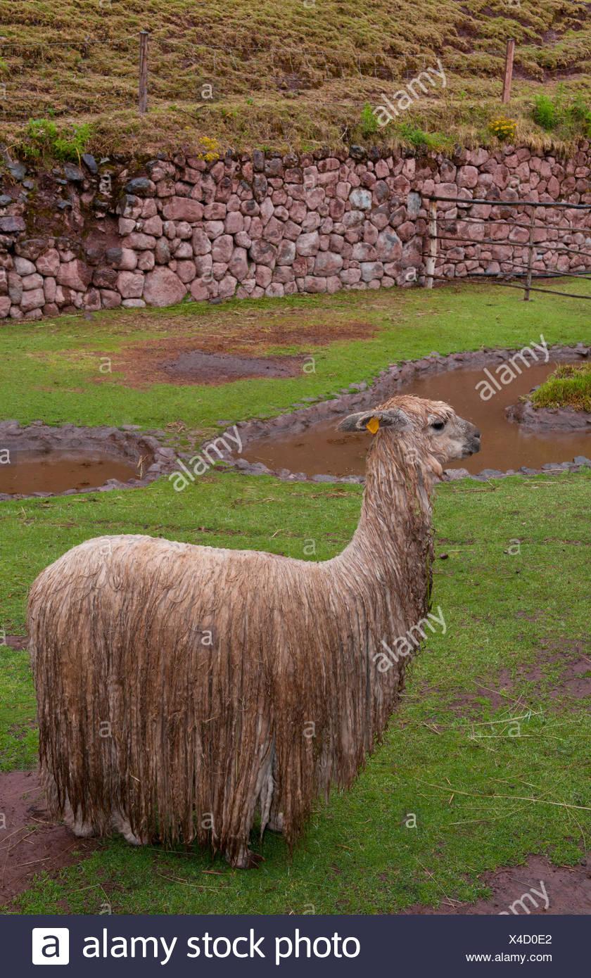 Llama (Lama glama), wet llama sotto la pioggia, in Perù, Cuzco Immagini Stock