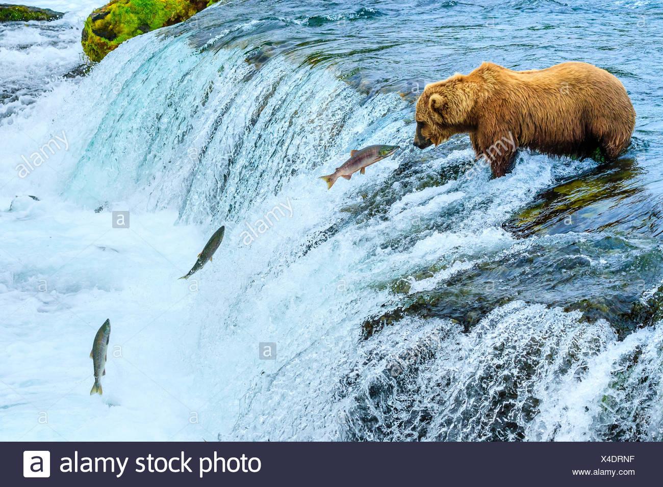 Orso bruno Ursus arctos, la pesca al Salmone Sockeye presso Brooks Falls. Immagini Stock