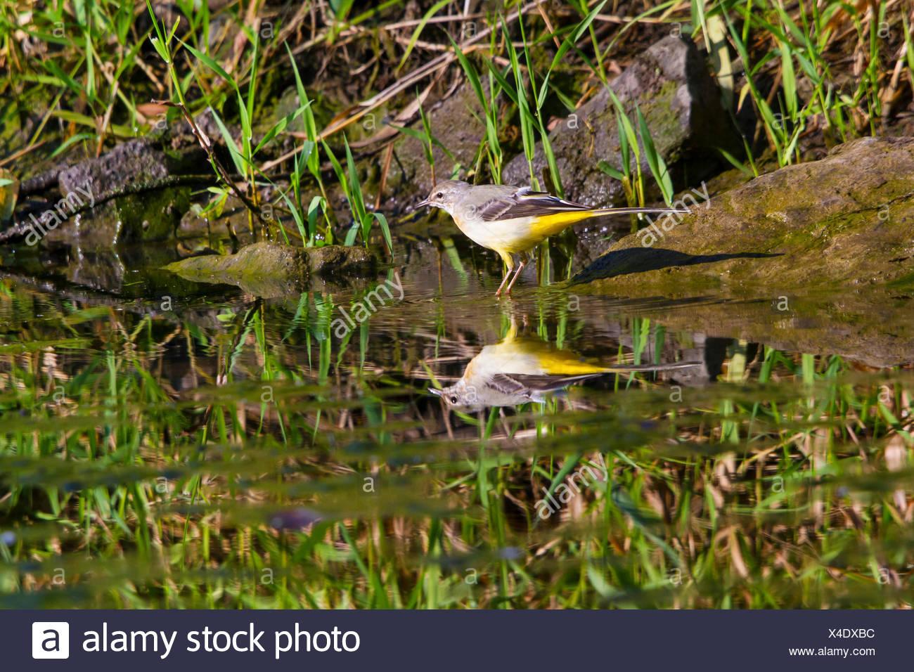 Wagtail grigio (Motacilla cinerea), sui mangimi, mirroring sulla superficie dell'acqua, Svizzera, sul lago di Costanza Immagini Stock