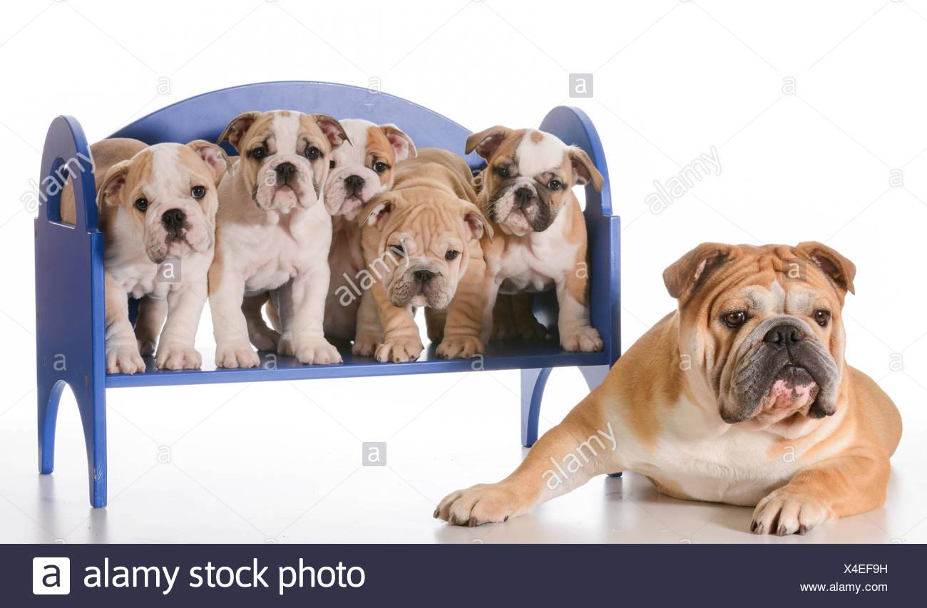 Famiglia di cane - Bulldog inglese padre posa accanto a cucciolata di  cuccioli seduta su una b0758495f1ae