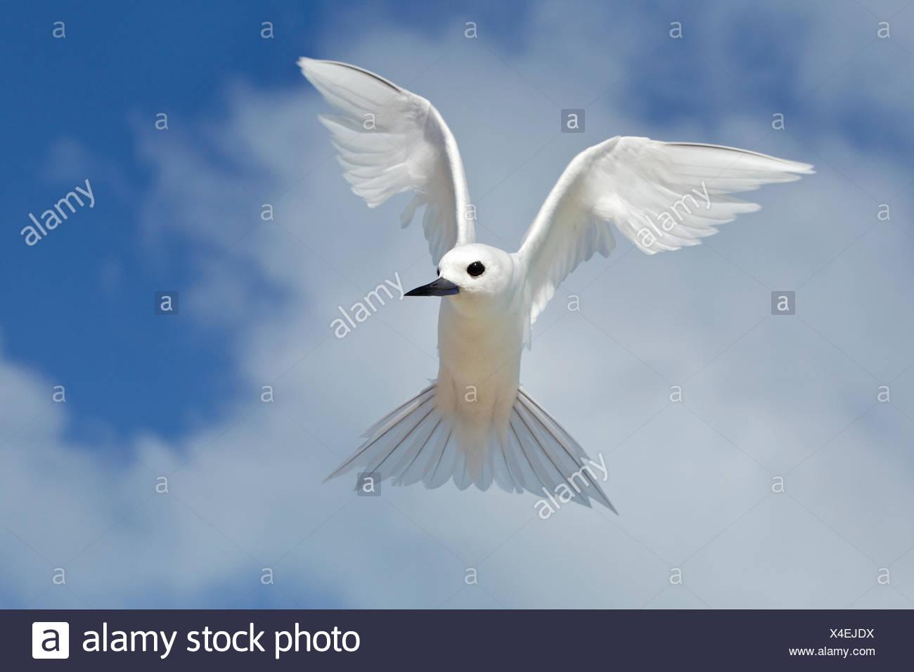 Bianco (tern Gygis alba rothschildi), hovering, isola di sabbia, Midway Atoll National Wildlife Refuge, Northwest isole hawaiane. Immagini Stock