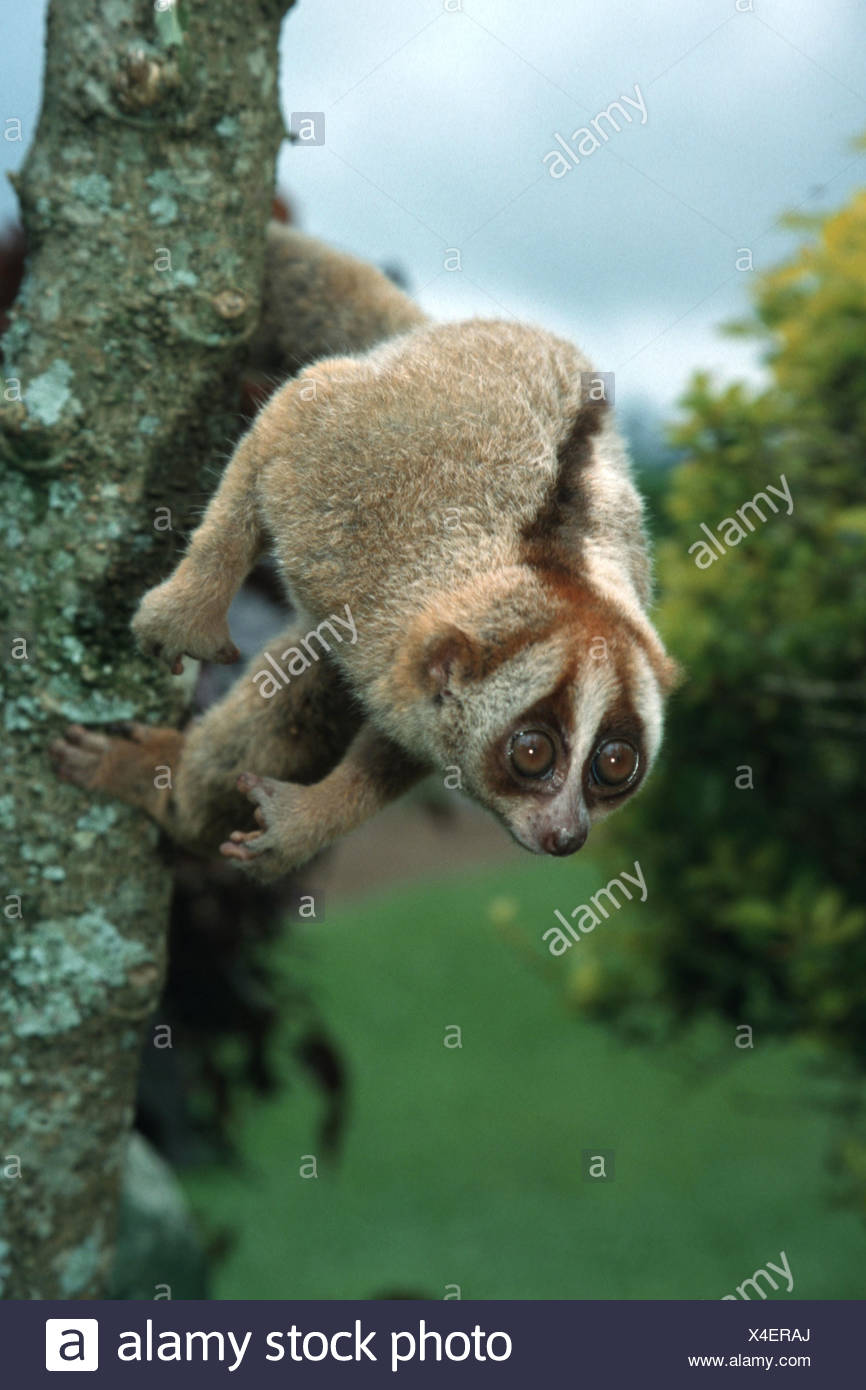 Slow loris, cu lan (Nycticebus coucang), appeso a un trunk Immagini Stock