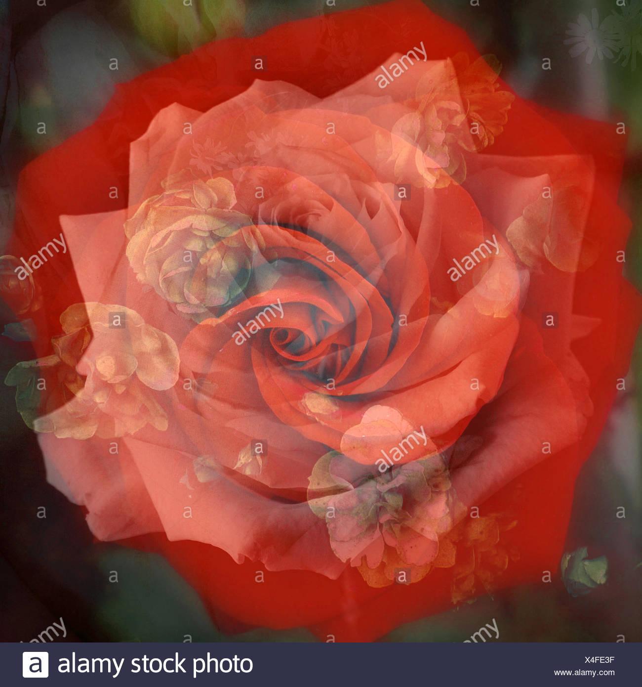 La Composizione Di Una Rosa Rossa Con Fiori Di Colore Bianco Infront