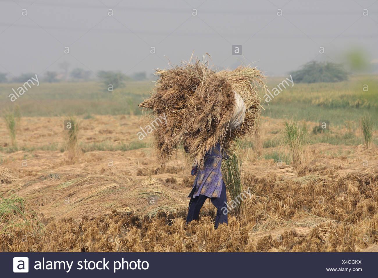 La donna nel campo con il fieno, Haryana membro, India Immagini Stock