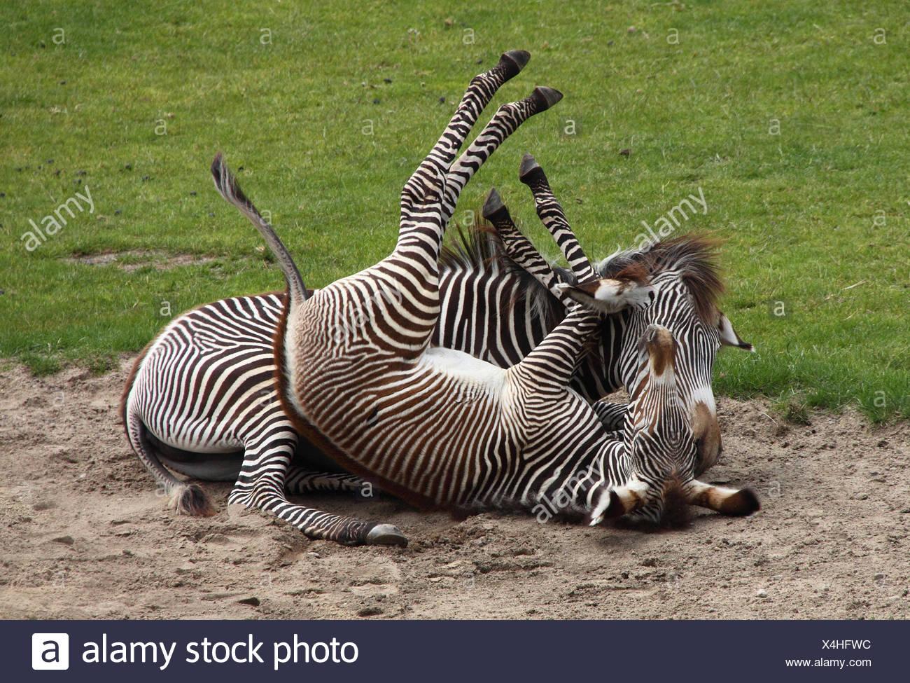 Zebramother con bambino Immagini Stock