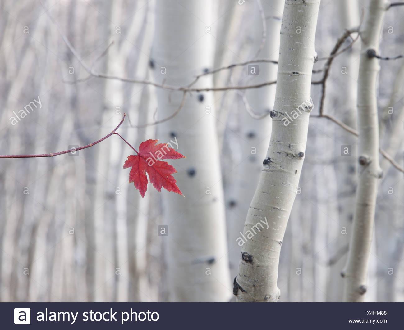 Un singolo rosse foglie di acero in autunno, contro uno sfondo di Aspen Tree trunk con crema e bianco corteccia. Wasatch National Forest. Foto Stock