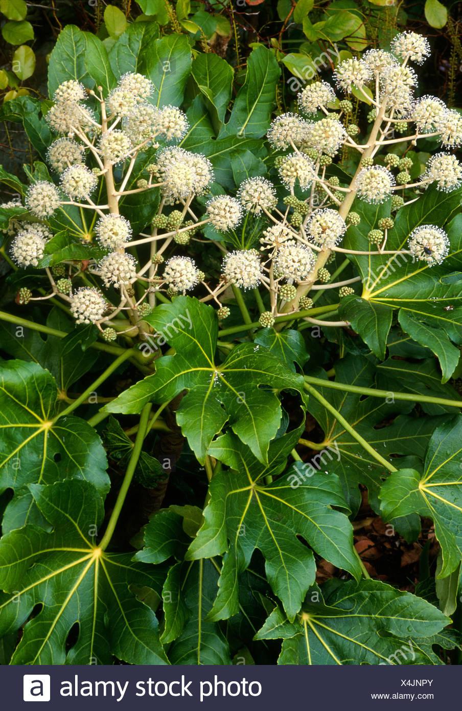 Fatsia japonica aralia agm japonica aralias giapponese for Immagini fiori autunnali