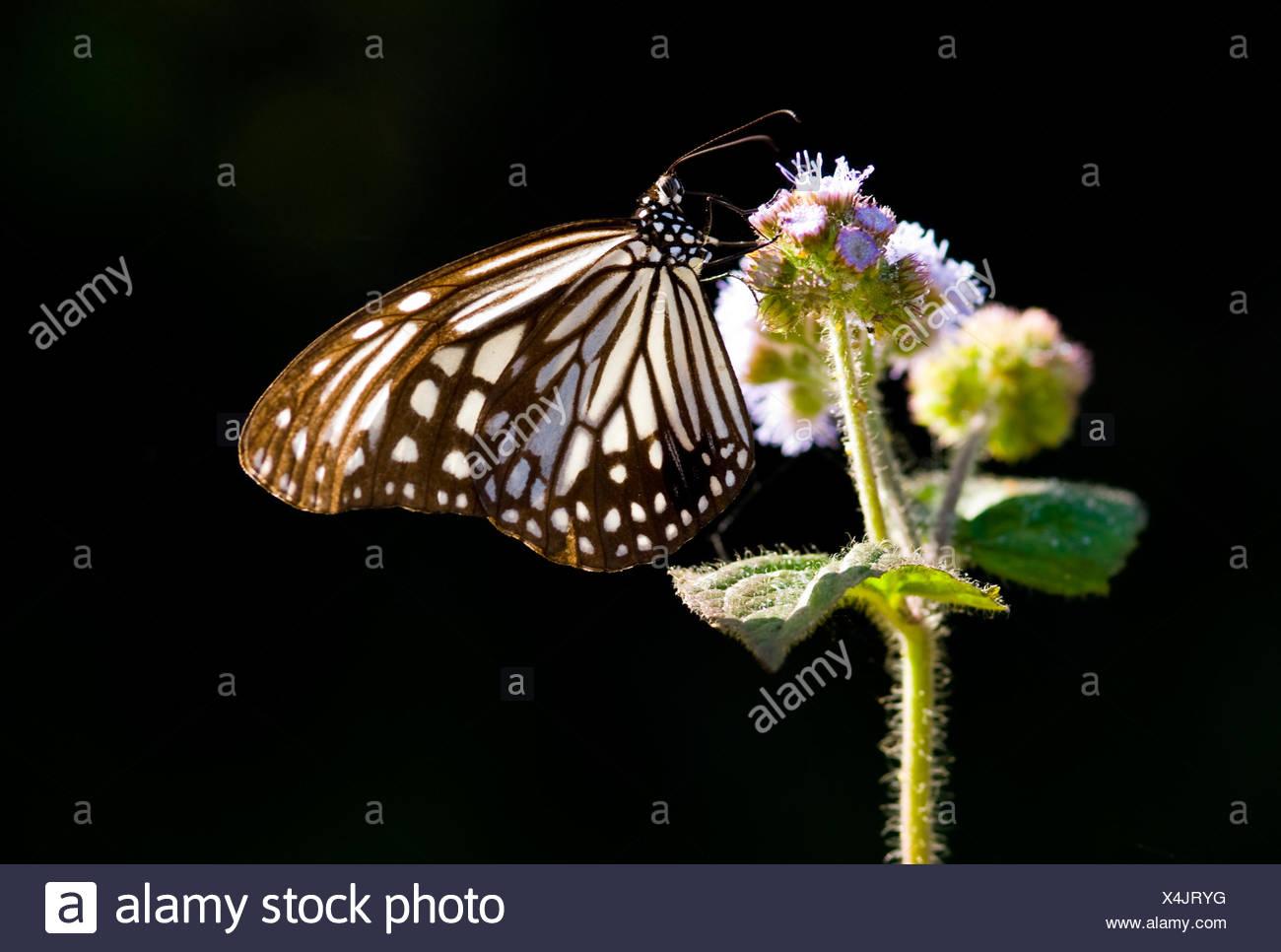Milkweed farfalle e fiori viola. Milkweed butterfly (Parantica aglea maghaba). Immagini Stock