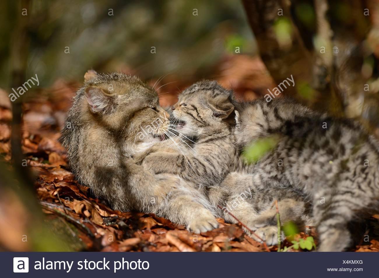 Due gatto selvatico europeo gattini nel Parco Nazionale della Foresta Bavarese, Germania Immagini Stock