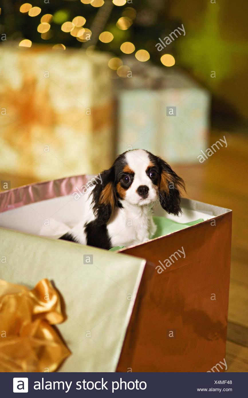 Un Cucciolo Di Cavalier King Charles Spaniel Cane In Una Scatola