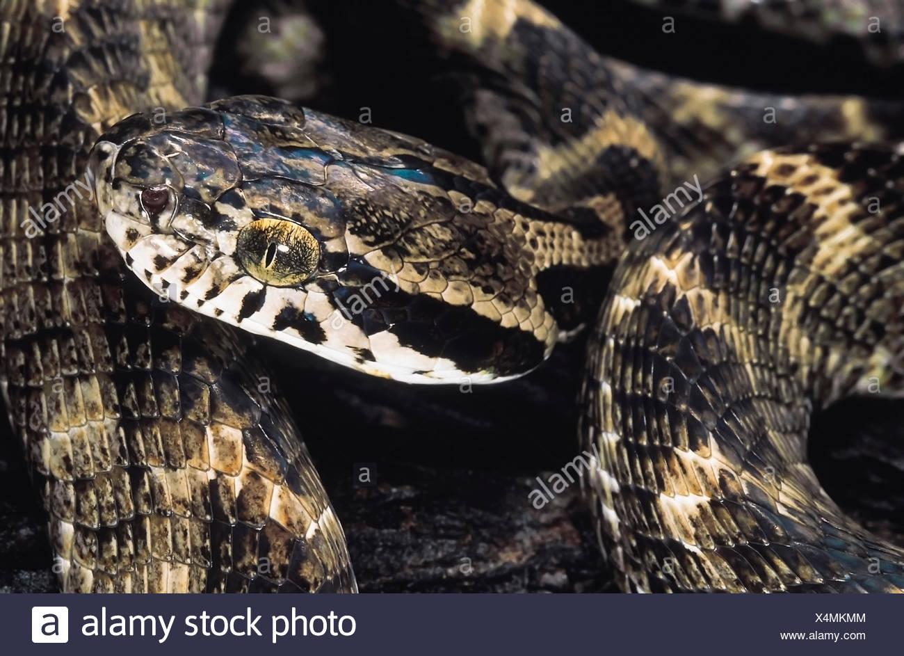 Boiga Forsteni. Forsten's Cat snake. Non velenose. Maharashtra, India. Foto Stock