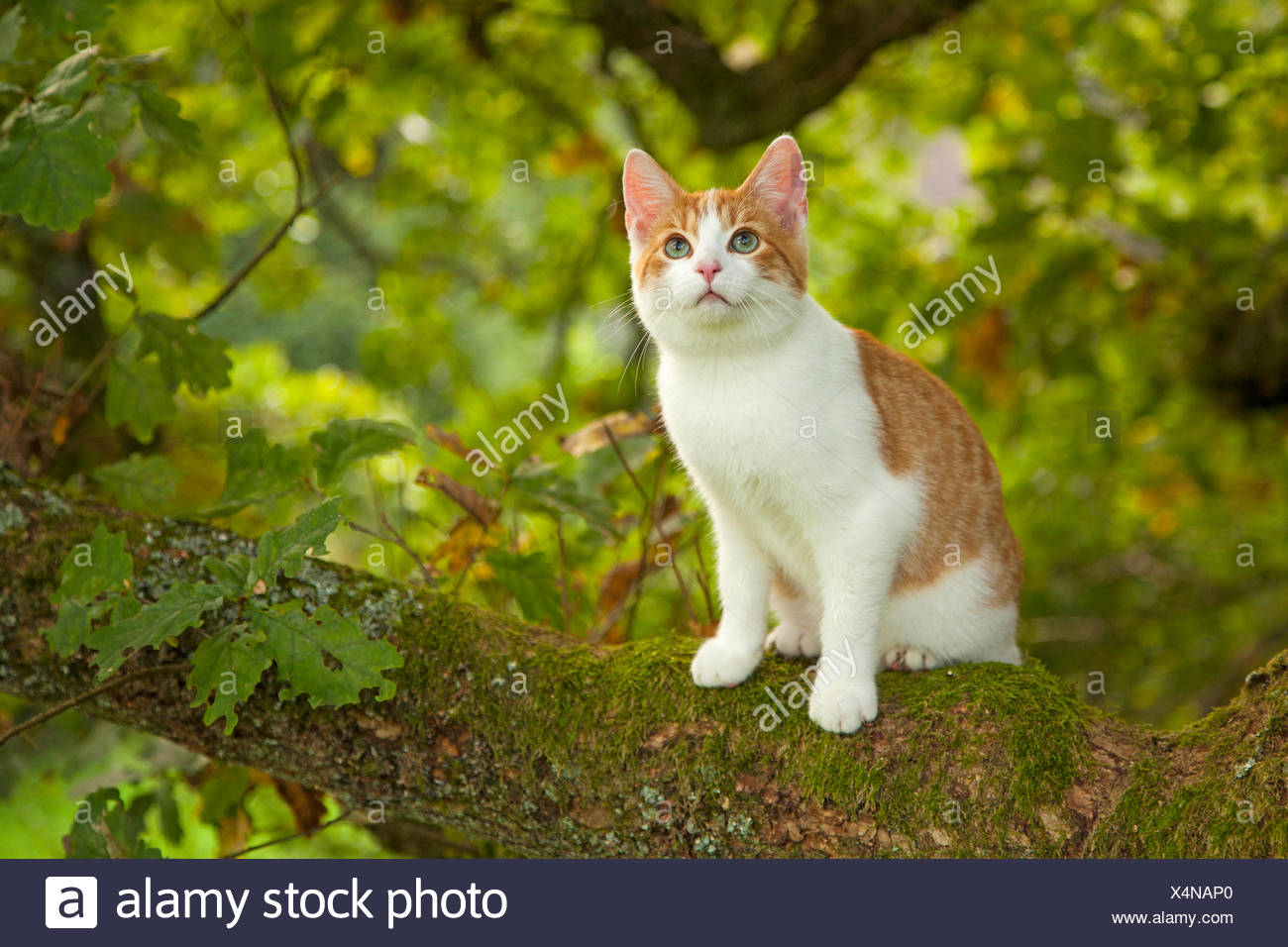 Il gatto domestico, il gatto di casa (Felis silvestris f. catus), seduto su un ramoscello, Germania Immagini Stock