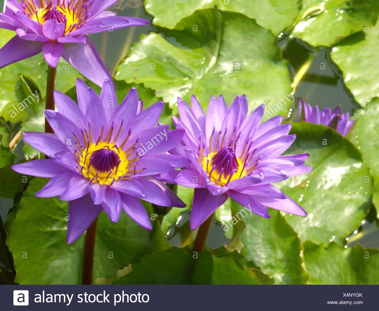 Immagini Piante E Fiori piante e fiori africa acqua giglio pianta acquatica giardino