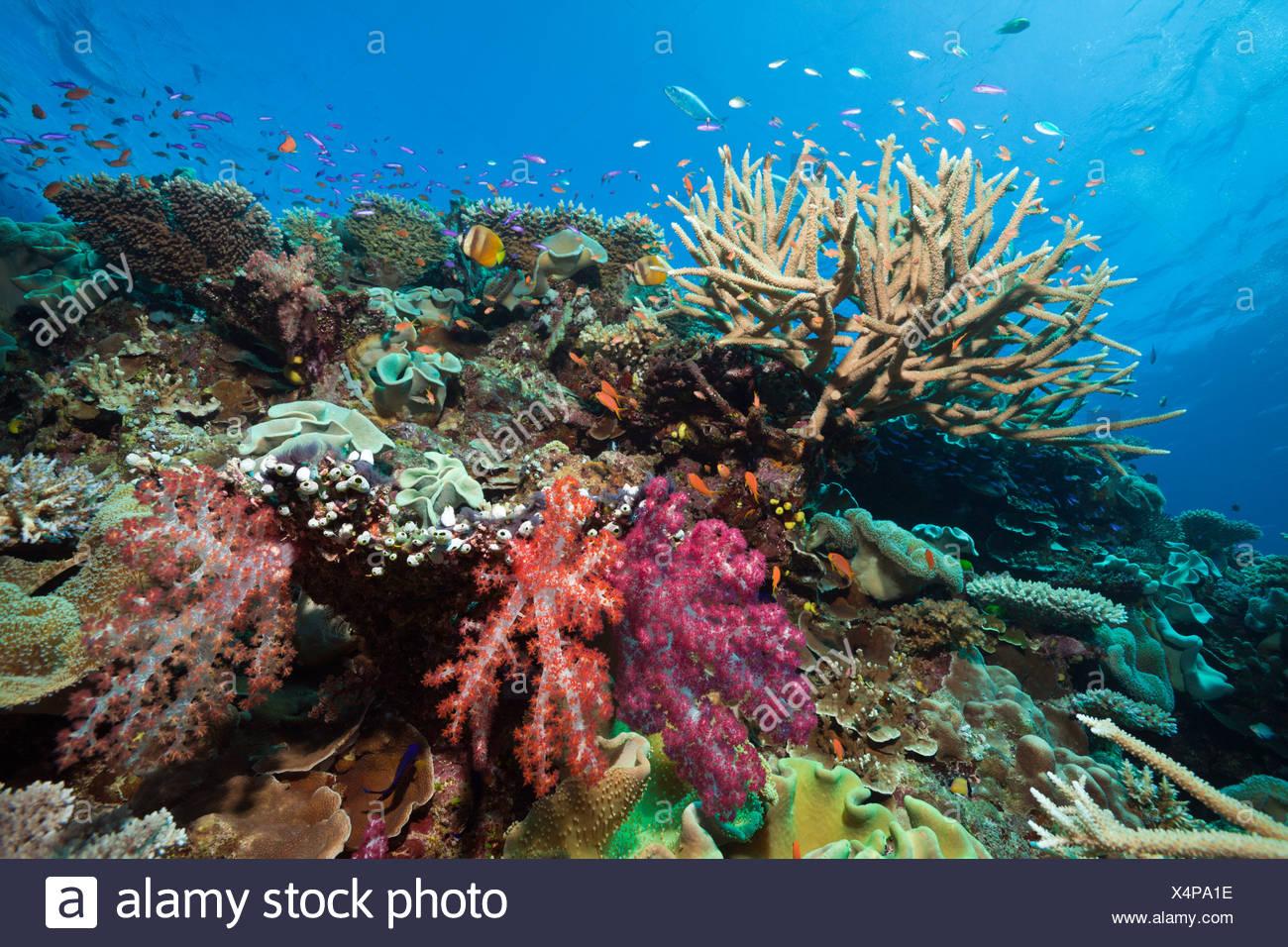 Coral Reef, Wakaya, Lomaiviti, Isole Figi Immagini Stock