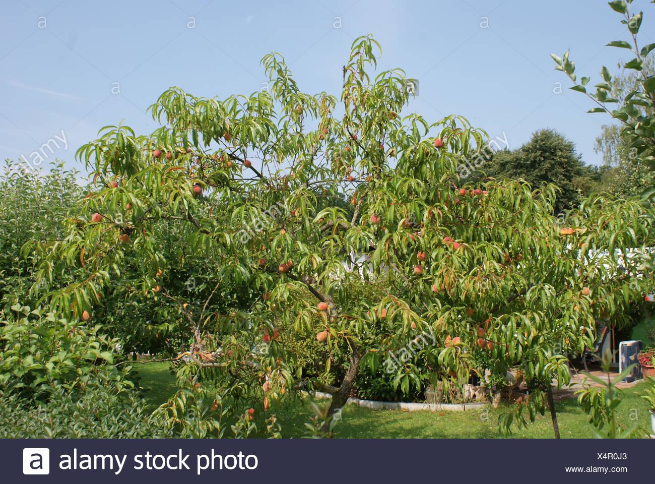 Peach Immagini Stock