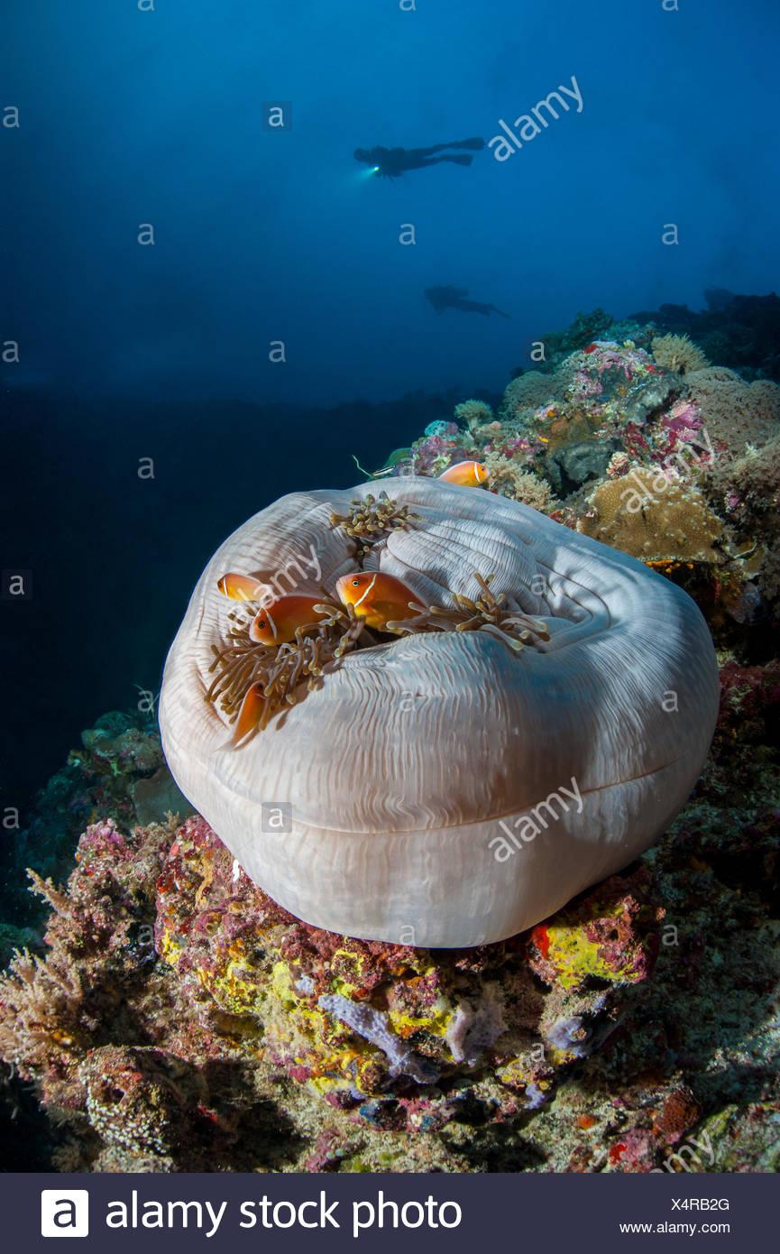 Palau, sacco bianco underwater sulle barriere coralline con sagome di subacquei in background Immagini Stock
