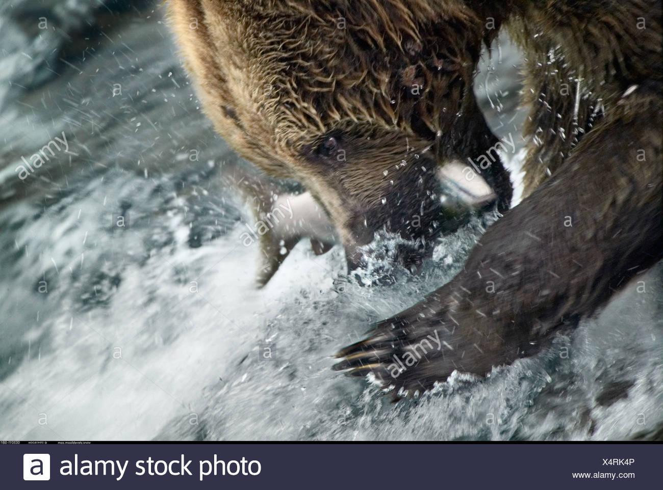 Orso bruno la cattura del salmone Brooks Falls Alaska Immagini Stock
