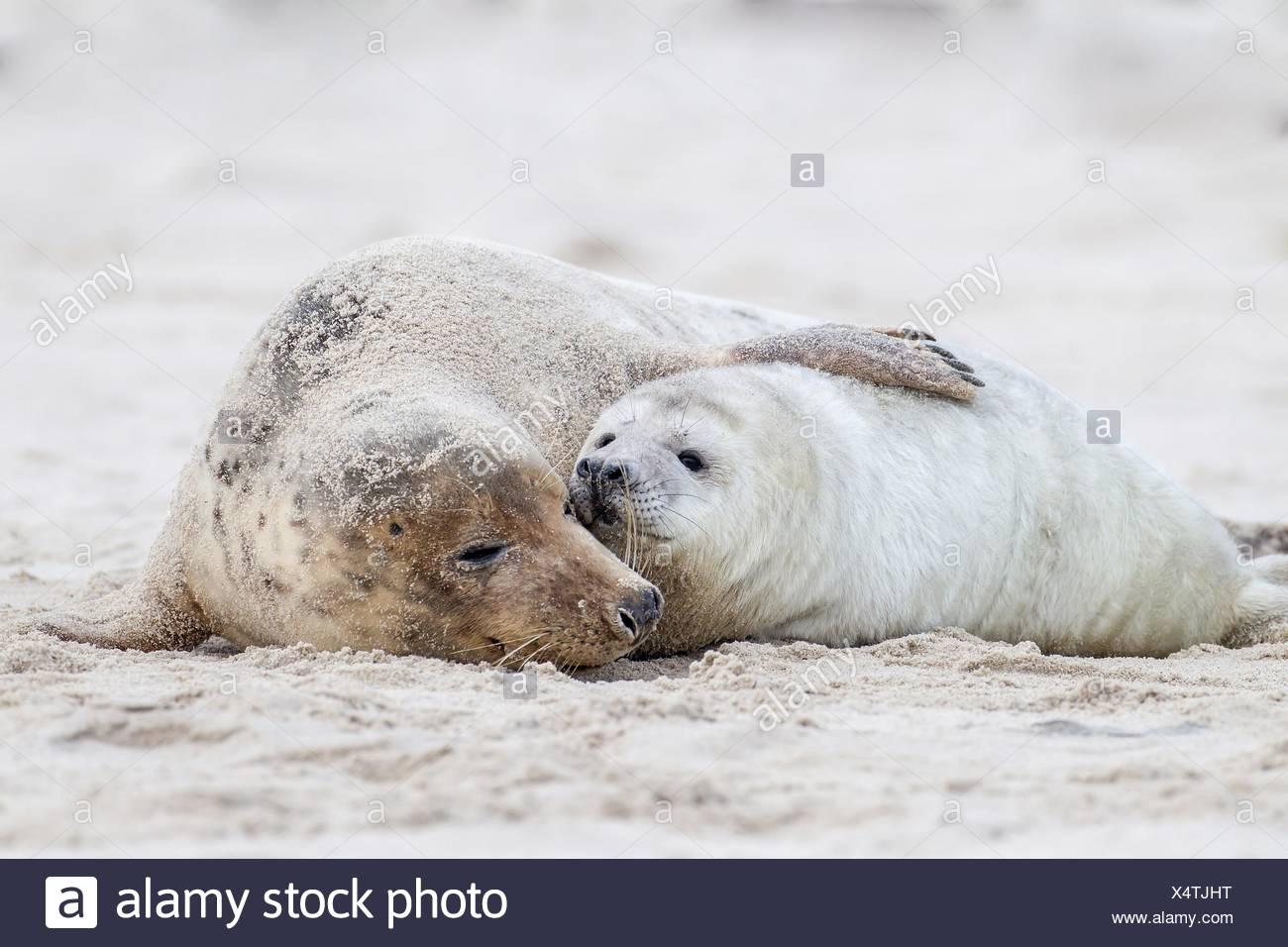 foche grigie Immagini Stock