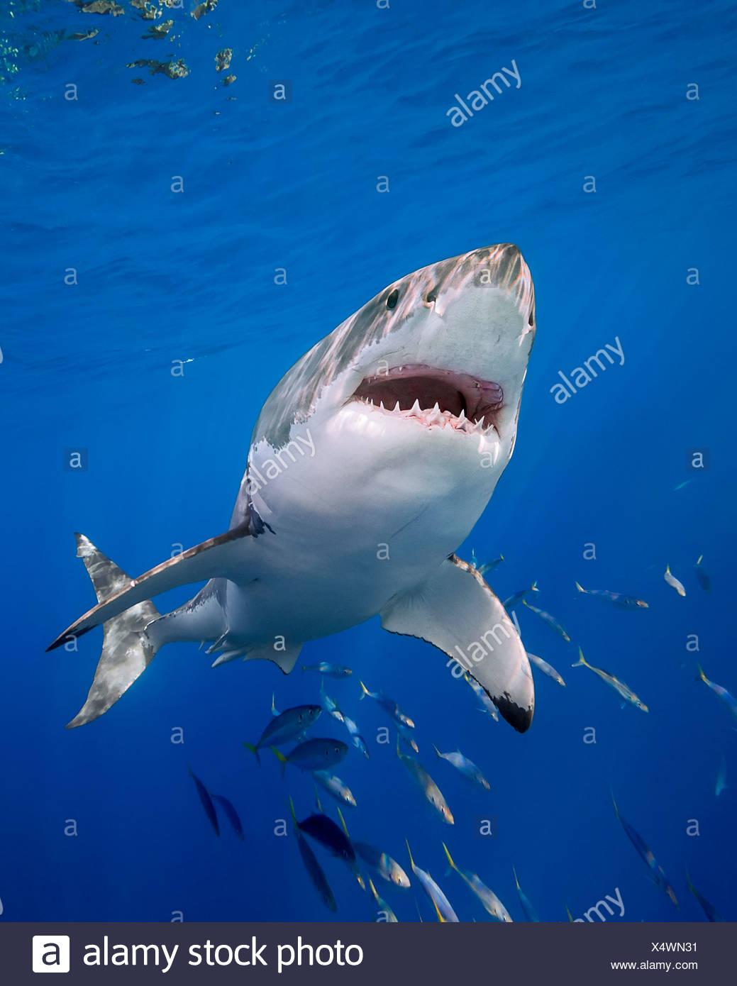 Il grande squalo bianco, Carcharodon carcharias, Isola di Guadalupe, in Messico Immagini Stock