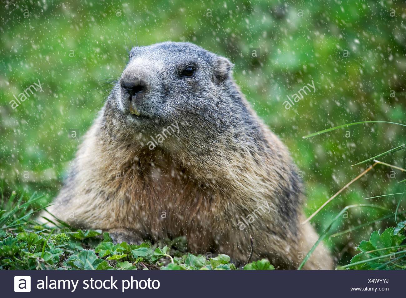Alpine marmotta (Marmota marmota) in nevicata, Aversertal del Cantone dei Grigioni, Svizzera Immagini Stock