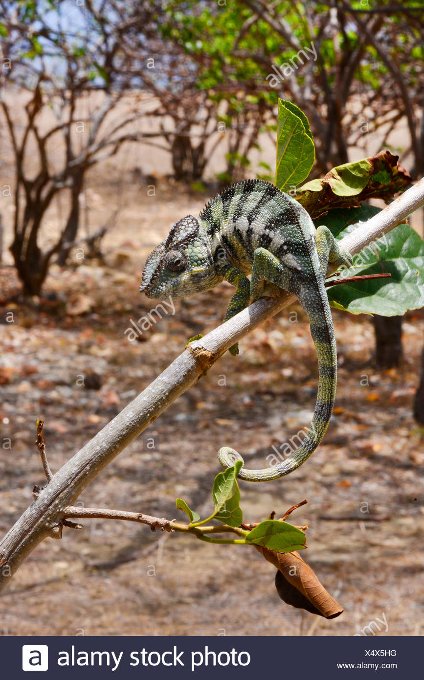 Panther chameleon (Furcifer pardalis, Chamaeleo pardalis), si siede su un ramo, Madagascar, Montagne des Francais Immagini Stock