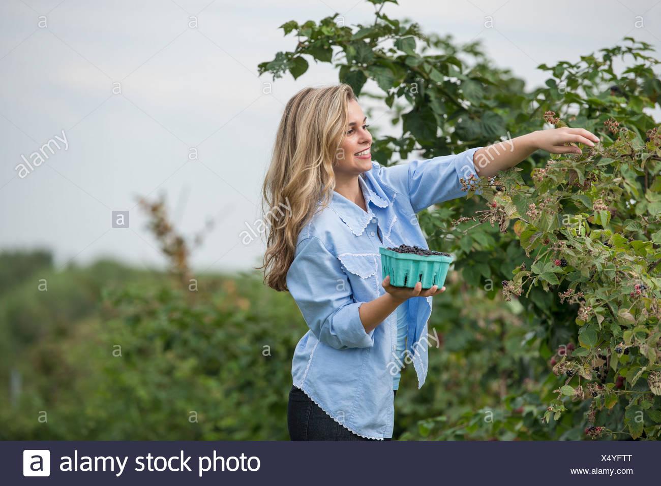 Una donna che arrivano fino alla raccolta di bacche selvatiche da una bussola di blackberry su un organico di azienda frutticola. Immagini Stock