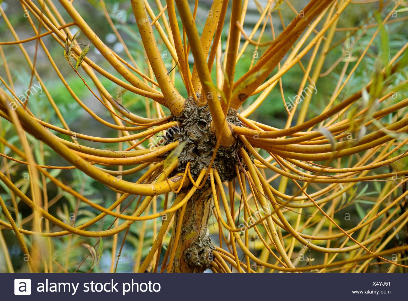 Il salice bianco (Salix alba 'Chermesina', Salix alba Chermesina), cultivar Chermesina Immagini Stock