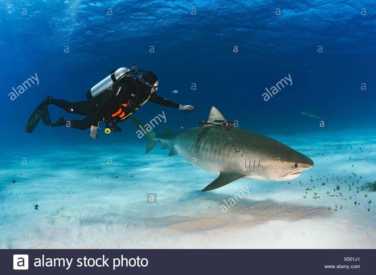 Un Crittercam, un video che raccoglie le riprese dello squalo nei movimenti, è attaccato a un squalo tigre a mano sott'acqua. Immagini Stock