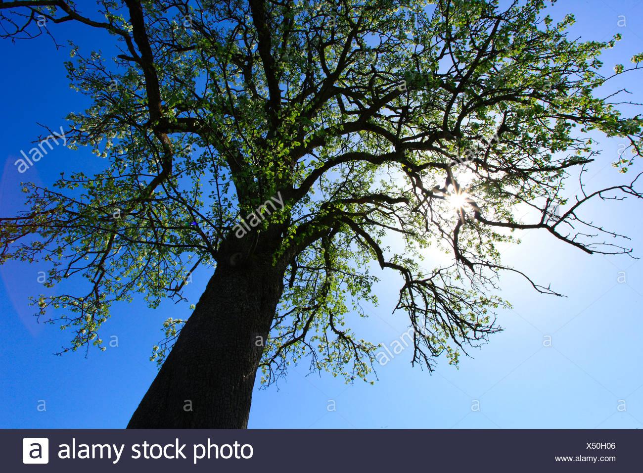 Agrario, Apple, Apple Tree, albero apple blossom, fiorire, albero, blossom, fiorire, fiore, splendore, dettaglio, campo, molla, po Immagini Stock