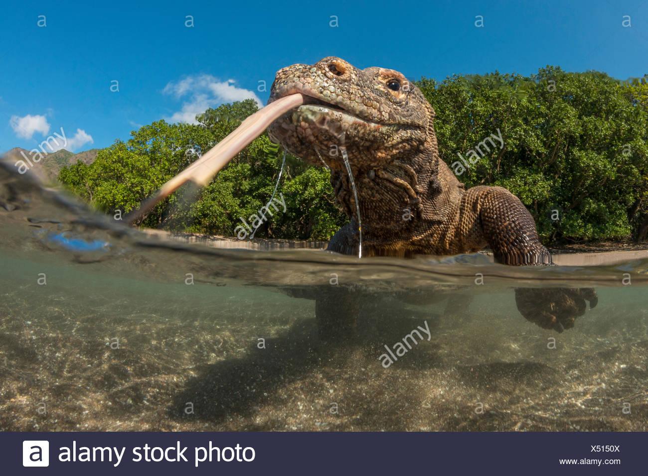 Drago di Komodo, Varanus komodoensis, Komodo, Indonesia Immagini Stock