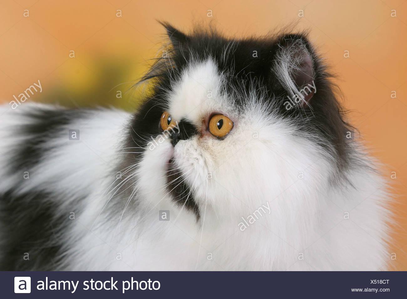 Gatto Persiano Tomcat In Bianco E Nero Foto Immagine Stock