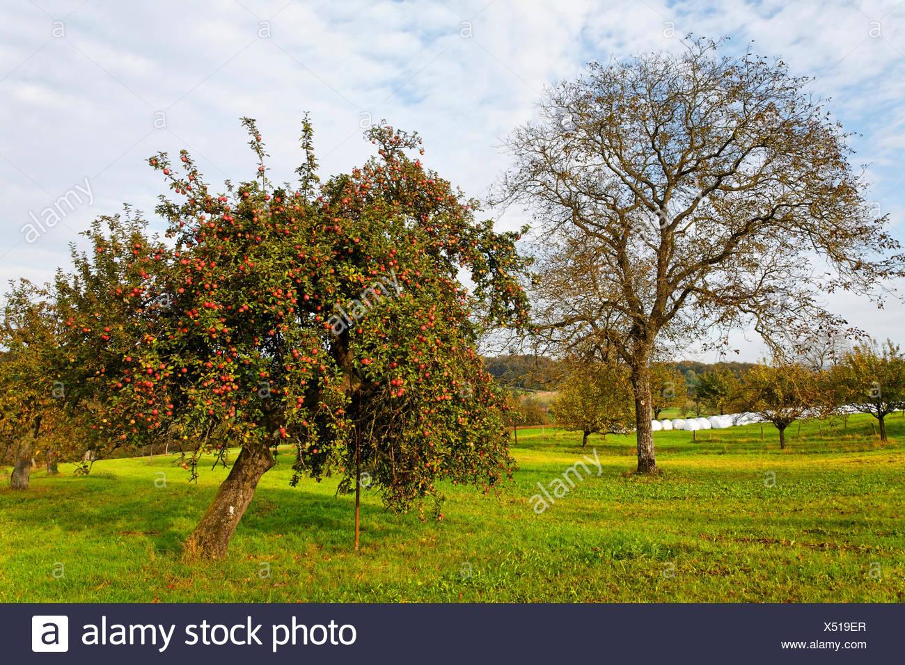 Foto Di Alberi Da Frutto melo, prato con disseminati di alberi da frutta in autunno
