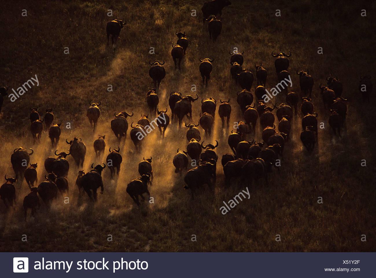 Syncerus caffer caffer bufali allevamento visto dall'aria in movimento attraverso il paesaggio in Botswana Botswana Foto Stock