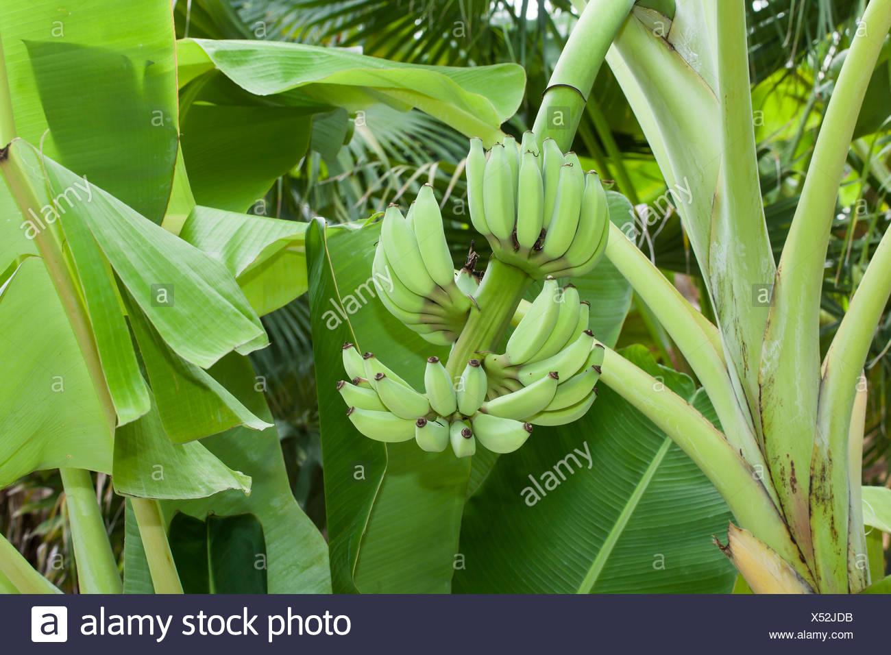 Pianta Di Banana Foto ninh, thuan, vietnam, asia, coltivazione, banana, piante di