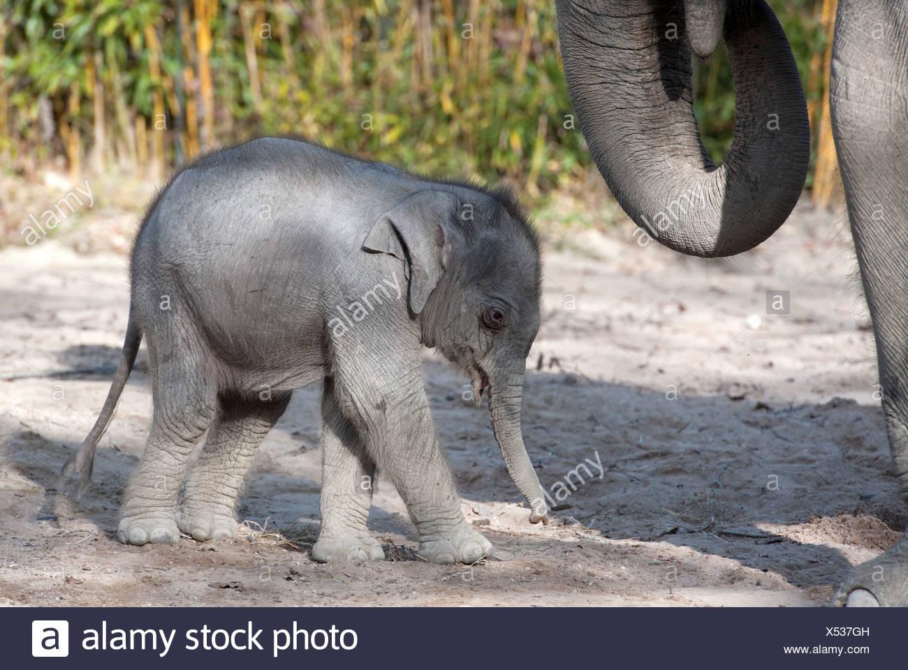 Elefante asiatico (Elephas maximus), femmina baby elephant, 11 giorni, durante la prima incursione nel contenitore esterno con la sua Immagini Stock