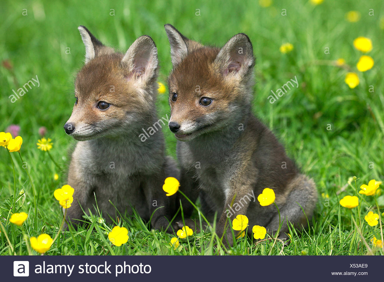 Fiori Gialli Normandia.Red Fox Vulpes Vulpes Cubs Seduta Con Fiori Gialli Normandia