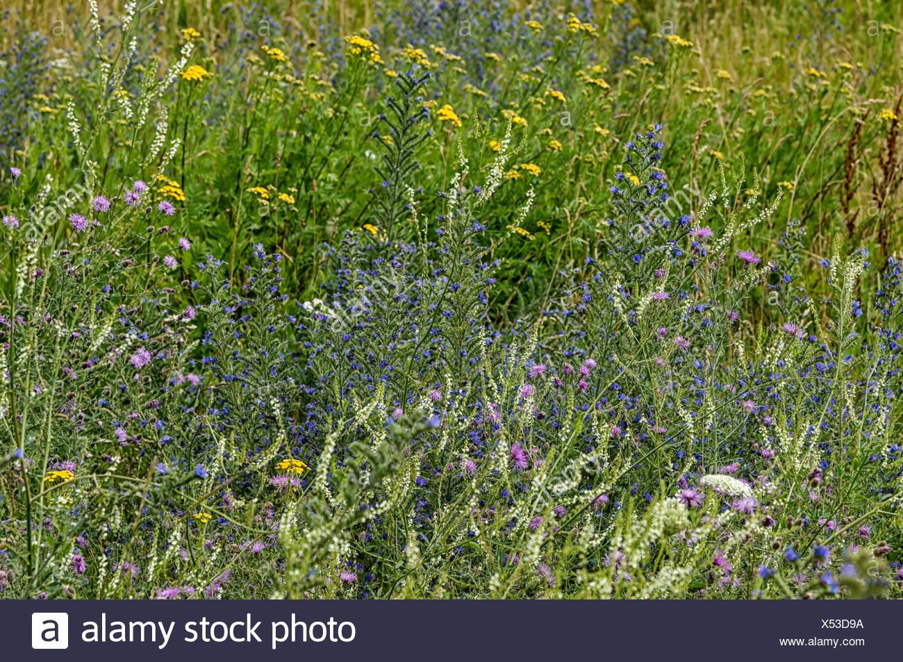 Le scienze naturali, la fioritura del campo estivo Immagini Stock