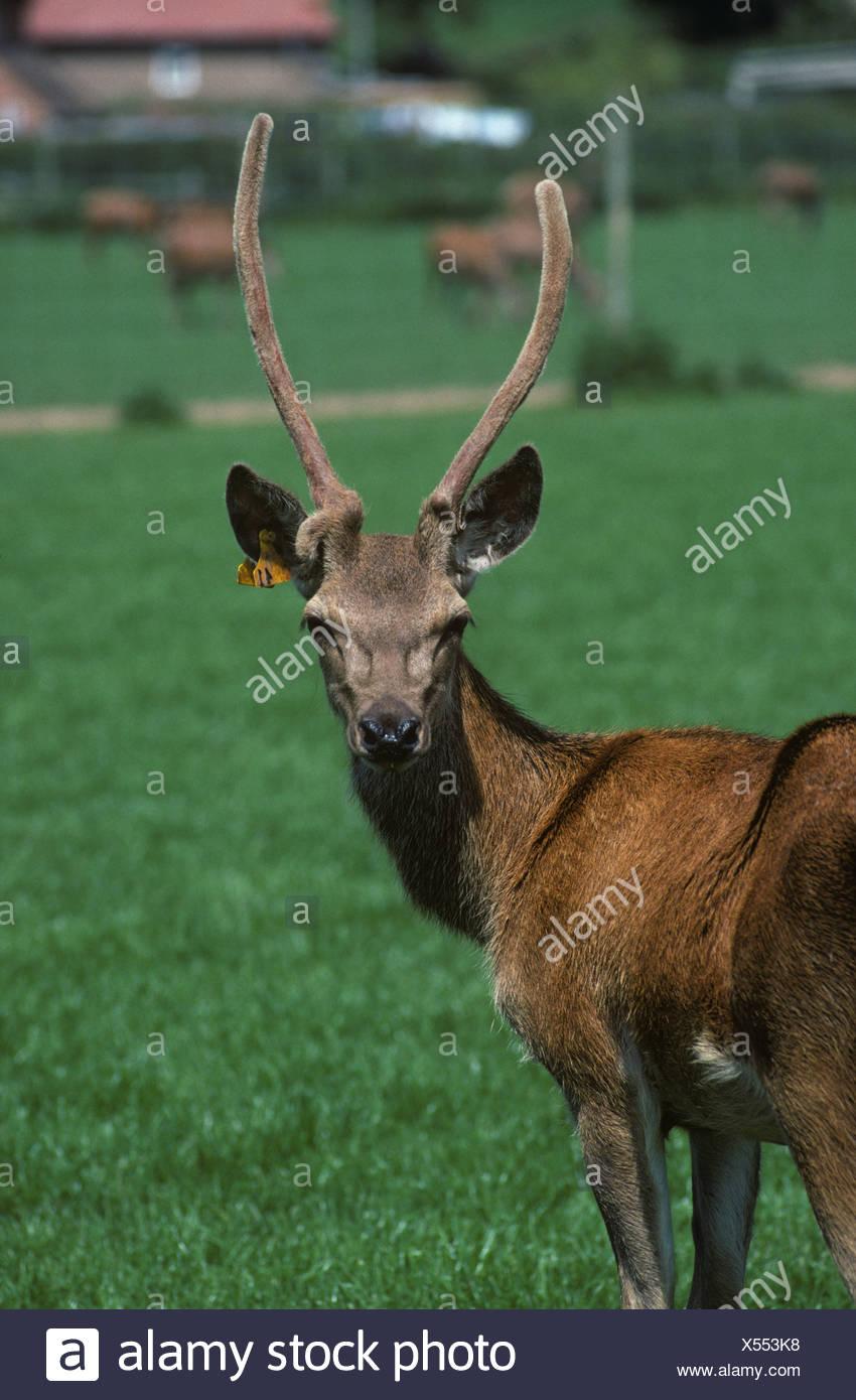 Un giovane cervo Cervus elaphus stag non appuntita con feltro coprì palchi guardando la telecamera Immagini Stock