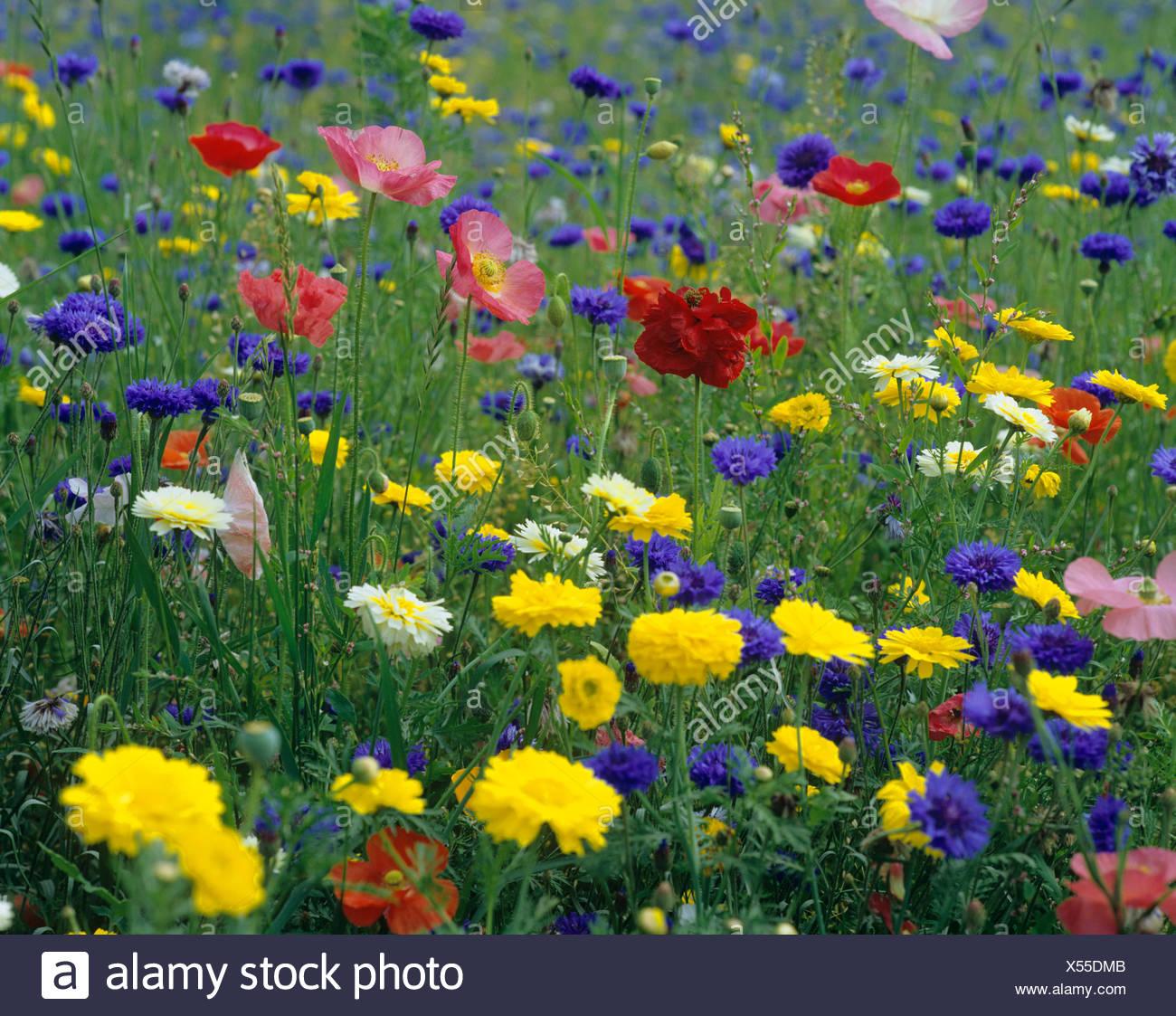 Prati In Fiore Di Mais Semi Di Papavero E Il Mais Calendula