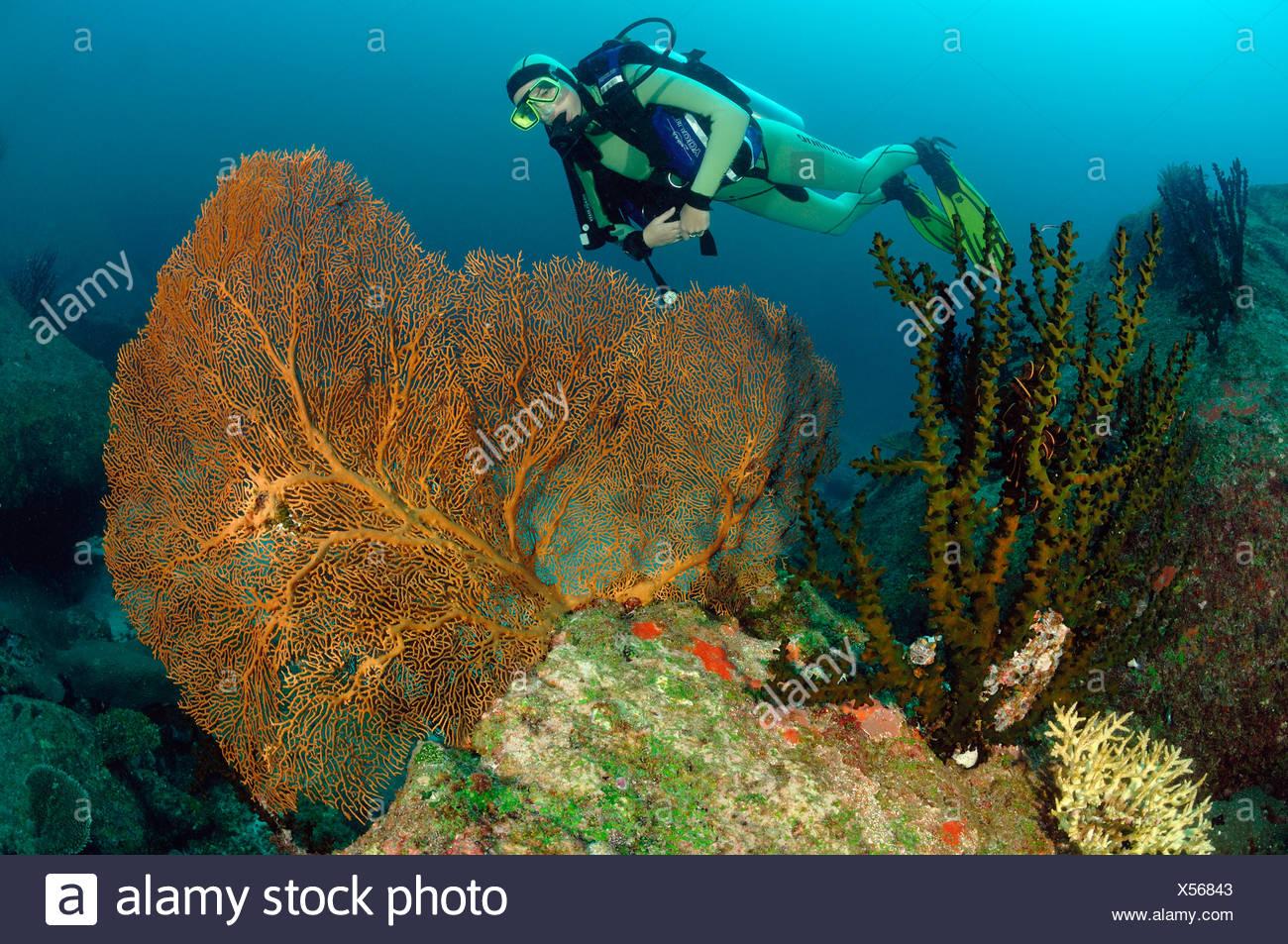 Immersioni sulla barriera corallina, Richelieu Rock, Isole Surin, Thailandia Immagini Stock