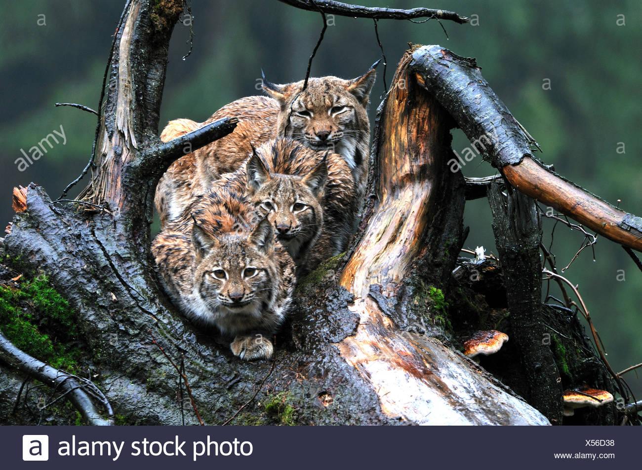 Lynx cat gatto grande predatore gatti wildcat grande gatti lince gli animali da pelliccia inverno inverno Neve Lynx Lynx Lynx lynx eurasiatica unione Immagini Stock